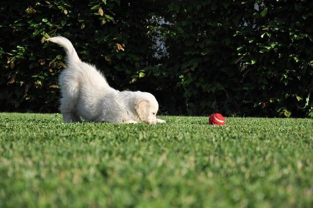cucciolo cane gioco giardino